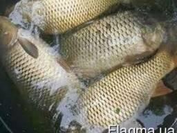 Продам живую рыбу. Щука, толстолоб, карп, линь, сом, карась