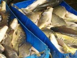 Продам живую рыбу. карп, щука, линь, амур, сом, толстолоб,