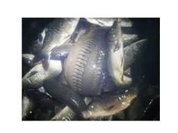 Продам живую рыбу Щука, судак, амур, окунь, карп,
