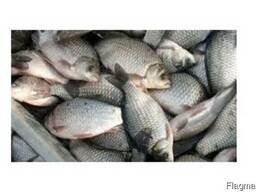 Продам живую рыбу: Щука, карп, толстолоб, сом, амур.
