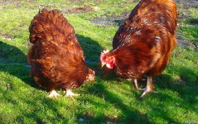 Продаю инкубационные яйца кур породы Орпингтон шоколадный.
