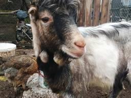 Продаю козла-производителя породы Ламанча