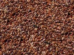 Продаю семена Суданки