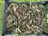 Продаж живих раків - фото 2