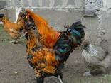 Продажа инкубационных яиц кур породы Павловская золотая. - фото 3