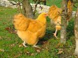 Продажа инкубационных яиц кур породы Орпингтон желтый. - фото 2