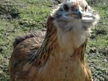 Продажа инкубационных яиц кур породы Араукан. - фото 2