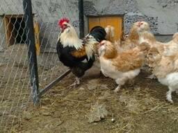 Продажа инкубационных яиц кур породы Фавероль лососевый.