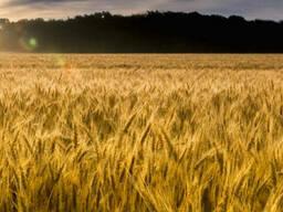 Продажа посевного материала сои кукурузы подсолнуха зерновых