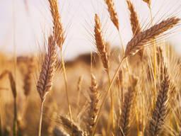Продажа посевногоматериала (озимой пшеницы)