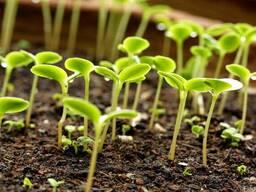 Продажа семян Брио, дк315, Пионер под гранстар, Тунка, Роки