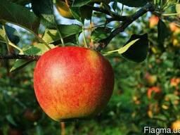 Продажа яблок оптом