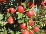 Продажа яблоневого сада 86 Га - фото 1