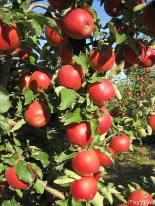 Продажа яблоневого сада 86 Га