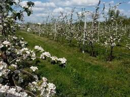Продажа яблоневого сада 86 Га - фото 3
