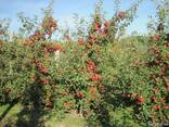 Продажа яблоневого сада 86 Га - фото 7