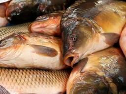 Продажа! Живая ставковая рыба