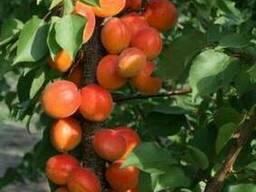 Пропонуєм саджанці абрикоса Цунамі
