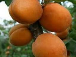 Пропонуєм саджанці абрикоса Голд Річ