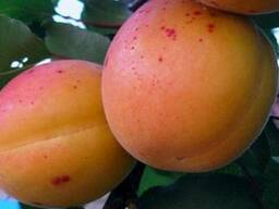 Пропонуєм саджанці абрикоса Серена