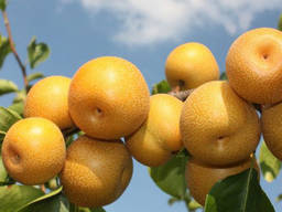 Пропонуєм саджанці груші Сикуї азіатська