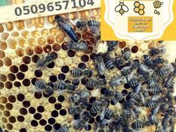 Продам чистопородні, селекційні бджоломатки, пчеломатки, матки Карпатки , плідні матки