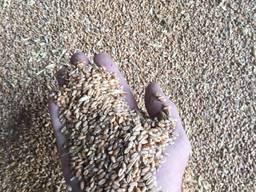 Пшеница органическая