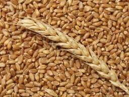 Куплю Ярую пшеницу