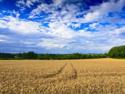 Пшеница Ампер