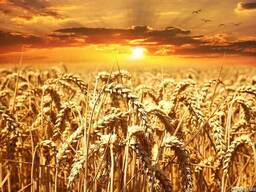 Пшеница. Дорого. Опт.