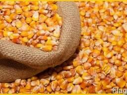 Пшеница, кукуруза - фуражная для кормовых целей.