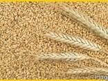 Пшеница, кукуруза - фуражная для кормовых целей. - фото 2