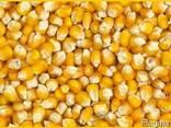 Пшеница, кукуруза - фуражная для кормовых целей. - фото 3