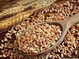Пшеница, кукуруза, семечка