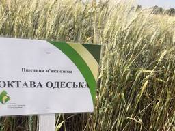 Пшеница Октава Одесская