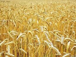 Пшеница озима Смуглянка