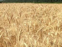 """Пшеница озимая """"Благодарка Одесская"""" Элита"""