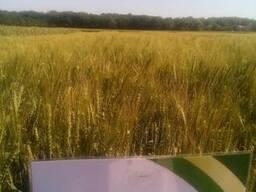 Пшеница озимая Эпоха Одесская семена