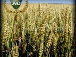 Пшеница озимая Фабиус