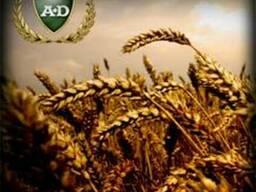 Пшеница озимая Каланча