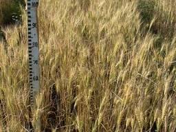 Пшеница озимая Лира Одесская Элита