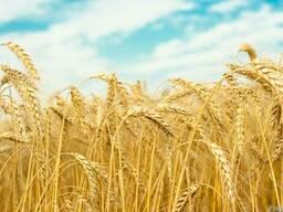 "Пшеница озимая ""Місія Одеська"" - элита Украина"