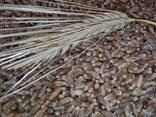 Пшеница озимая Шестопаловка (1 репрод. ) - фото 2