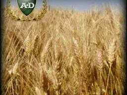 Пшеница озимая сорт Металлист