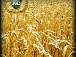 Пшеница озимая Чародейка