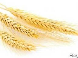 Пшеница семенная