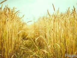 Пшеница, ячмень, кукуруза...