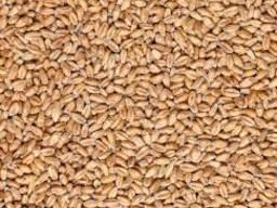 Пшеничний солод пивоварний