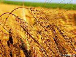 Пшеницу 3 кл.