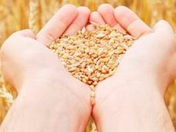 Пшениця